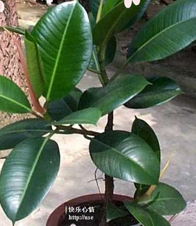 橡皮树:消除有害物质的多面手